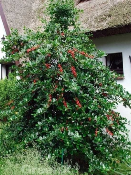 Ilex aquifolium 'J. C. van Tol' Europäische Stechpalme 'J. C. van Tol'