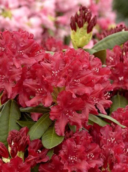 Rhododendron Hybride 'Torero' -S- / Rhododendron 'Torero' -S-