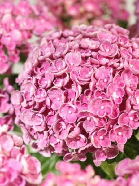 Hydrangea macrophylla 'Hovaria Hopcorn'® Pink / Bauern-Hortensie 'Hovaria Hopcorn'® Pink