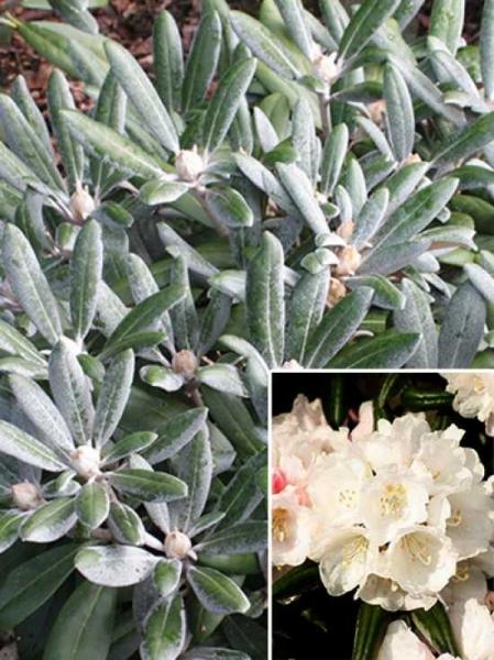 Rhododendron yakushimanum 'Koichiro Wada Dekora' / Rhododendron 'Koichiro Wada Dekora'
