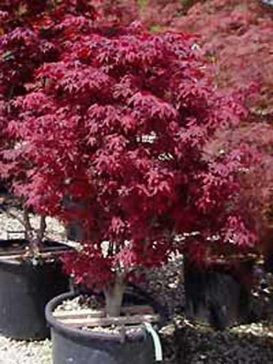 Acer Palmatum Atropurpureum Roter Facherahorn Japanischer