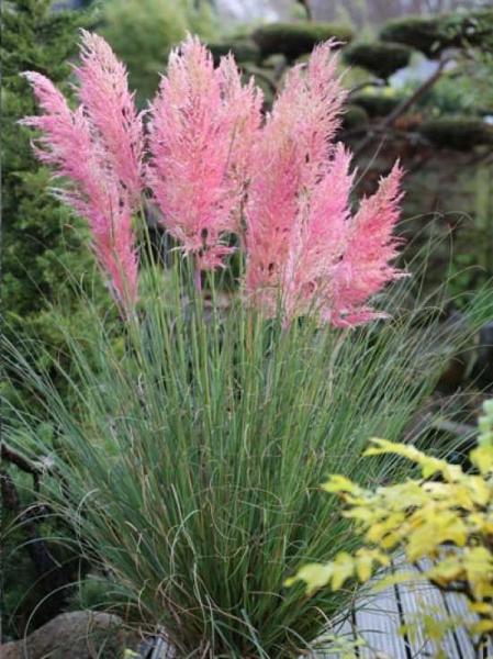Cortaderia selloana 'Scarlet Wonder' / Pampasgras 'Scarlet Wonder'