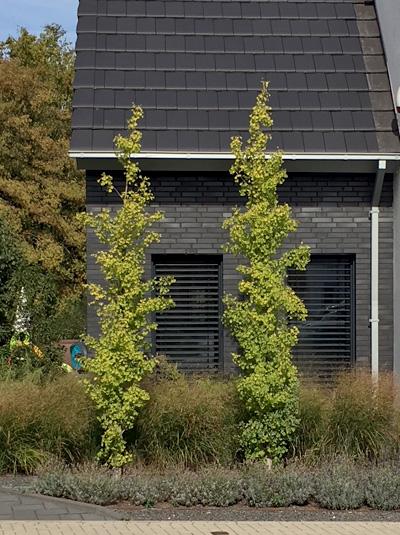 ginkgo biloba 39 fastigiata 39 s ulen elefantenohr ginkgobaum g nstig kaufen. Black Bedroom Furniture Sets. Home Design Ideas