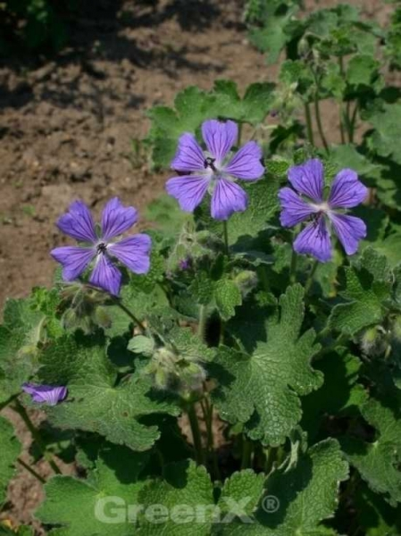 Geranium renardii 'Philippe Vapelle' / Garten-Storchschnabel