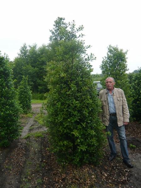 Ilex aquifolium 'Alaska' / Stechpalme 'Alaska' 300-350 cm Solitär mit Drahtballierung