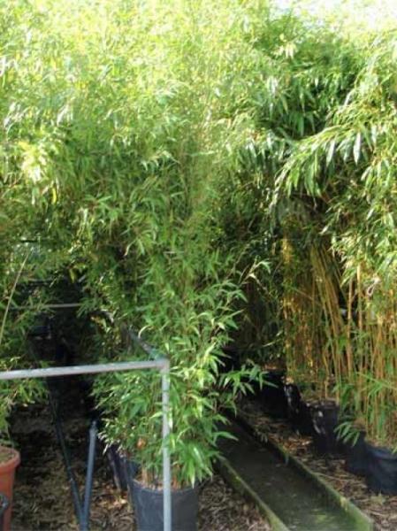 Phyllostachys nigra / schwarzer Bambus 250-300 cm im 35-Liter Container