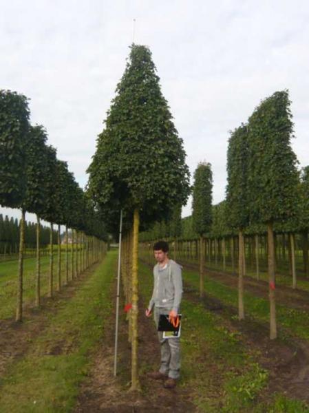 Acer campestre Elsrijk / Feld-Ahorn 'Elsrijk' Hochstamm-Pyramide (H: 450-500 cm)