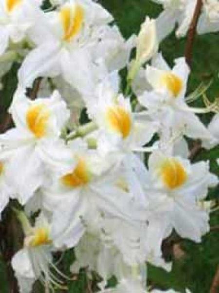 Azalea luteum 'Schneegold' (Knap-Hill) / Laubabwerfende Azalee 'Schneegold'