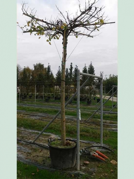 Tilia platyphyllos 'Dachform/Dachspalier' / Sommer-Linde