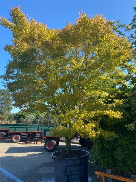 Acer palmatum / Fächer-Ahorn / Japanischer Ahorn 350-400cm breit x 400-450cm hoch Solitär (Nr.58)