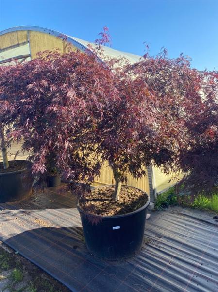 Acer palmatum 'Dissectum Garnet' auf Stamm / Dunkelroter Schlitz-Ahorn / Japanischer Ahorn Kronenbreite 175-200 (Nr.148)