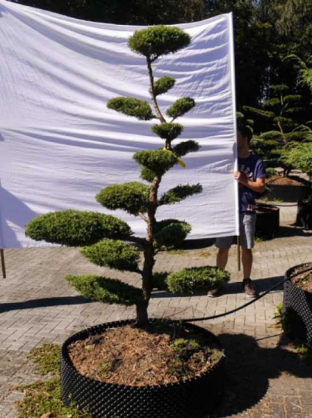 Juniperus media 'Hetzii' H: 200 cm B: 150 cm / Garten-Bonsai (301580)