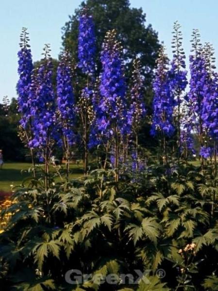 Delphinium elatum 'Finsteraarhorn' / Hoher Garten-Rittersporn