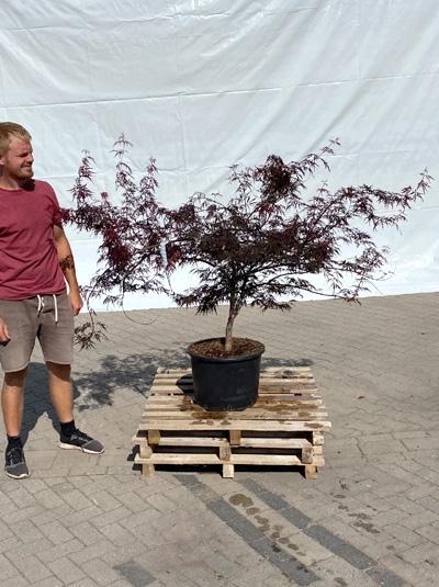 Acer palmatum 'Firecracker ®' / Japanischer Ahorn 100-125 cm breit (1207)