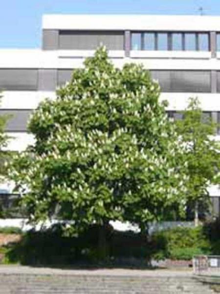 Aesculus hippocastanum / Gewöhnliche Rosskastanie