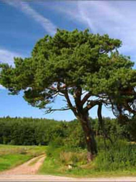 Pinus contorta / Küsten-Kiefer / Dreh-Kiefer