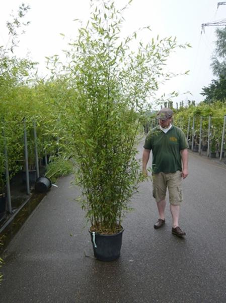 Phyllostachys bissetii / Bisset Bambus 200-250 cm im 35-Liter Container