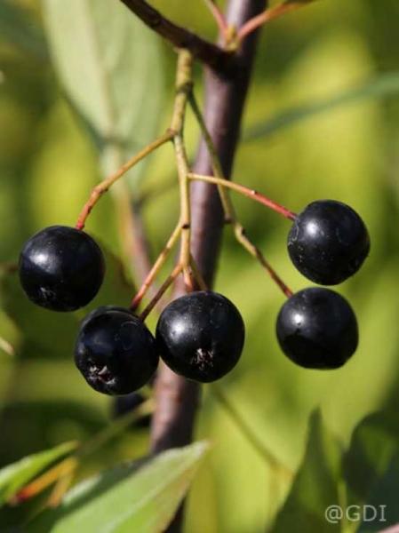 Aronia melanocarpa 'Hugin' / Apfelbeere 'Hugin'