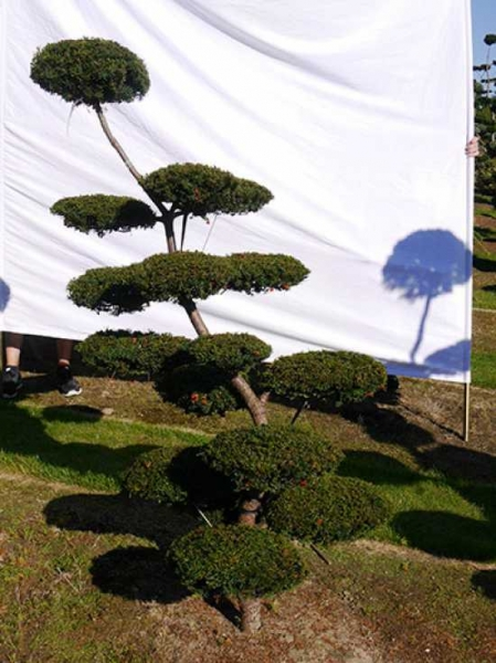 Taxus baccata H: 180 cm B: 140 cm / Garten-Bonsai (0176)