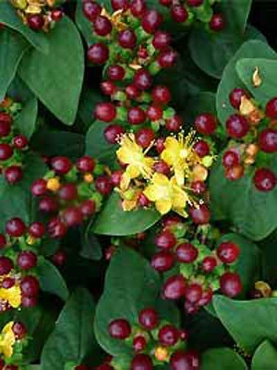 Hypericum inodorum 'Magical Black' / Johanniskraut 'Magical Black'