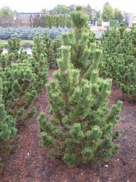 Pinus mugo /'Pal Maleter/' Zwergkiefer /'Pal Maleter/' 40-50