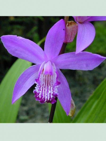 Bletilla striata / Japanorchidee