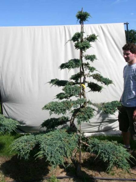 Juniperus squamata 'Blue Carpet' H: 220 cm B: 170 cm / Garten-Bonsai (306109)