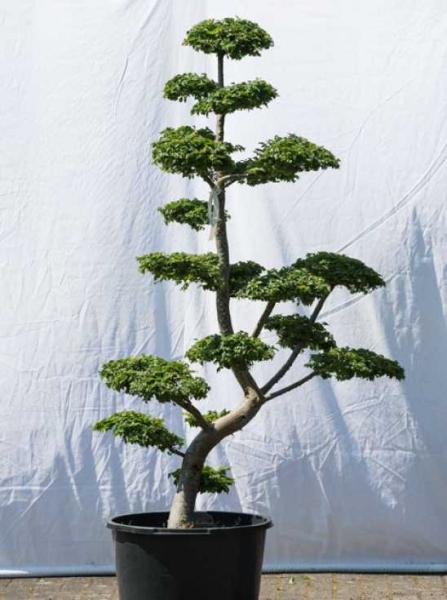 Ulmus minor 'Jacqueline Hillier' H: 180 cm B: 110 cm / Garten-Bonsai (569)