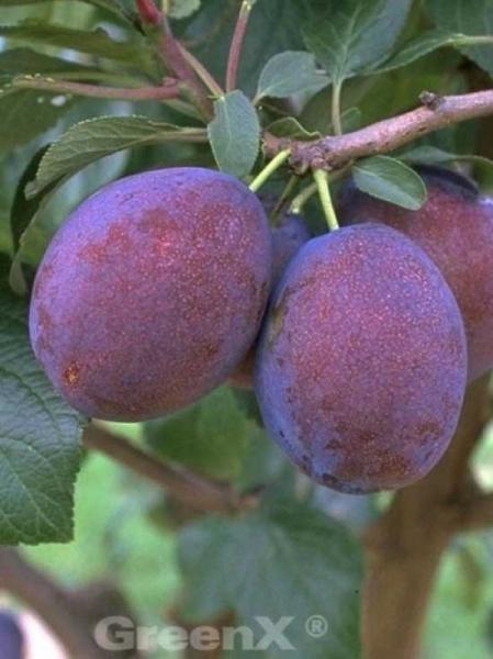 Prunus domestica 'Jubiläum' / Pflaume 'Jubiläum'