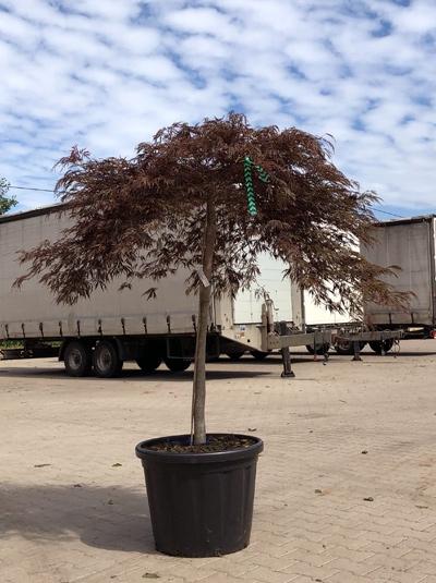 Acer palmatum 'Crimson Queen' / Roter Schlitzahorn 'Crimson Queen' 150-175 cm breit (546811)