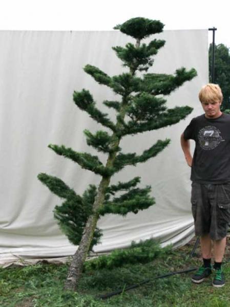 Larix decidua H: 240 cm B: 130 cm / Garten-Bonsai (801121)