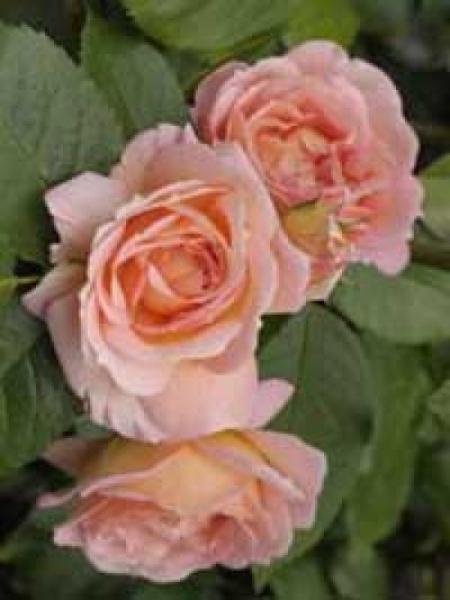 Rosa 'Amaretto ®' / Kletterrose 'Amaretto'