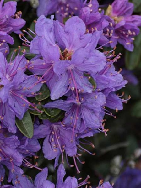 Rhododendron russatum 'Blue Wonder' / Rhododendron 'Blue Wonder'