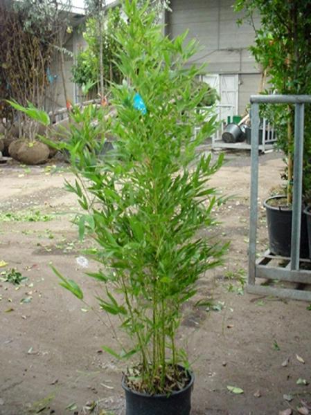 Phyllostachys aurea / Knoten-Bambus 125-150 cm im 12-Liter Container