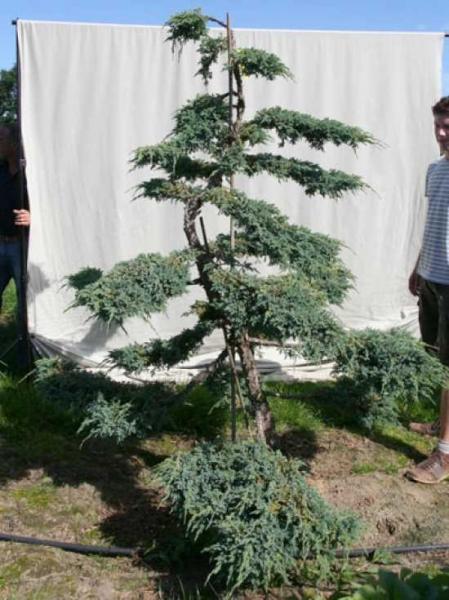 Juniperus squamata 'Blue Carpet' H: 220 cm B: 170 cm / Garten-Bonsai (306104)
