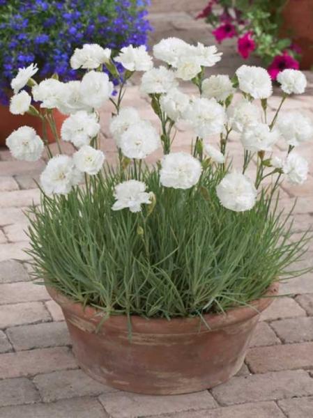 Dianthus plumarius 'Haytor White' / Garten-Feder-Nelke