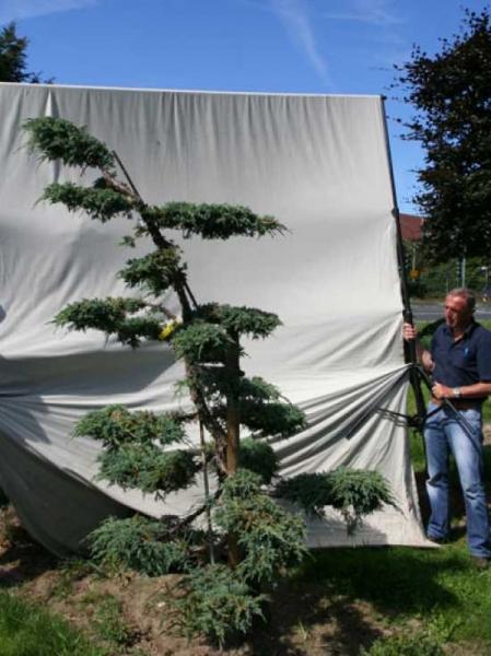 Juniperus squamata 'Blue Carpet' H: 230 cm B: 150 cm / Garten-Bonsai (306141)