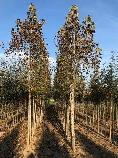 Populus canadensis 'Robusta' / Kanadische Holz-Pappel / Robusta-Pappel