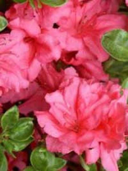 rhododendron obtusum 39 excelsior 39 japanische azalee 39 excelsior 39 g nstig kaufen. Black Bedroom Furniture Sets. Home Design Ideas