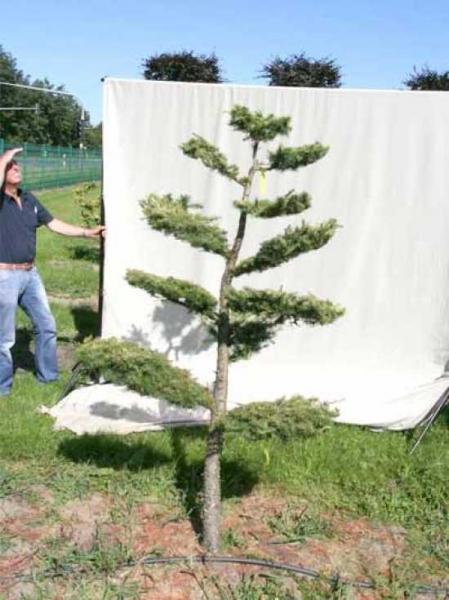 Larix decidua H: 200 cm B: 130 cm / Garten-Bonsai (801120)