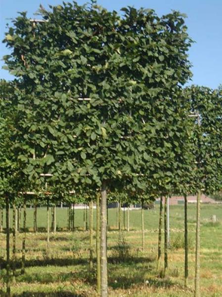 Carpinus betulus / Hainbuche / Weißbuche 'Hochstamm-Spalier' H:160 B:160 T:20 (Stamm 170 cm)