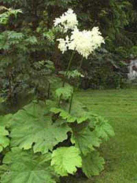 Astilboides tabularis / Tafelblatt