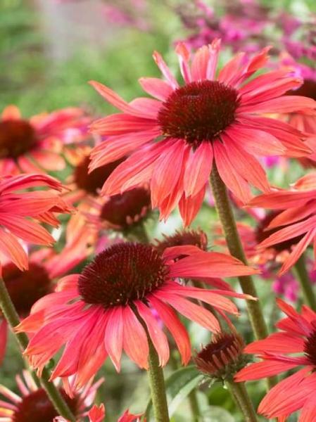 Echinacea purpurea 'Sundown ®' / Garten-Sonnenhut