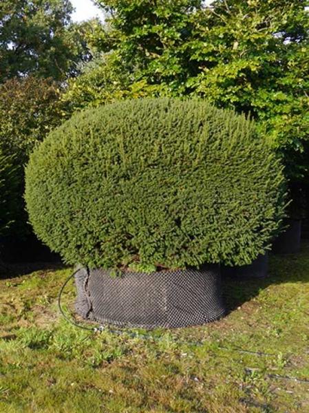 Taxus baccata 'Kugel' / heimische Eibe 'Kugel' 225-250 cm mit Drahtballierung