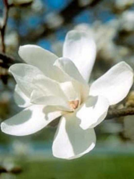 Magnolia loebneri 'Merrill' / Große Stern-Magnolie