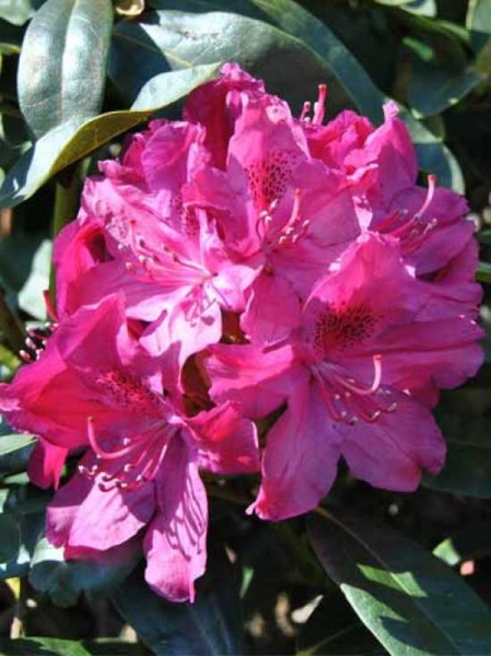 Rhododendron Hybride 'Roland' / Rhododendron 'Roland'