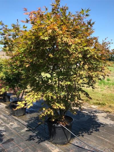 Acer palmatum 'Nicholsonii' / Fächer-Ahorn 'Nicholsonii' / Japanischer Ahorn 250-300 cm (1121)