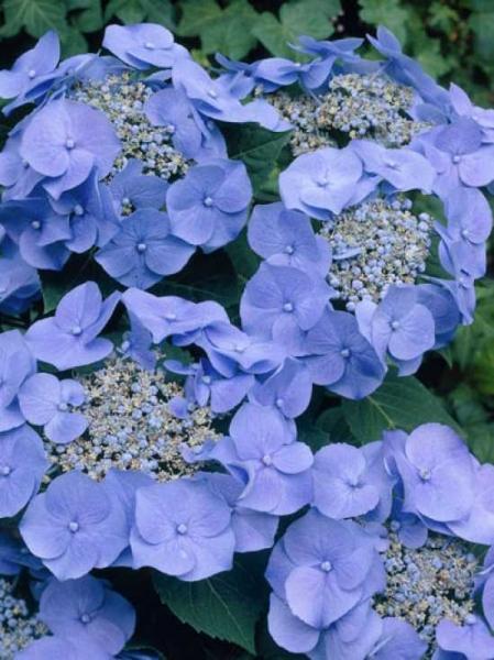 Hydrangea macrophylla 'Teller' blau / Teller-Hortensie 'Teller' blau