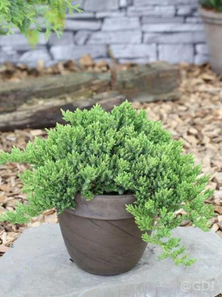 Juniperus procumbens 'Nana' / Japanischer Kriechwacholder