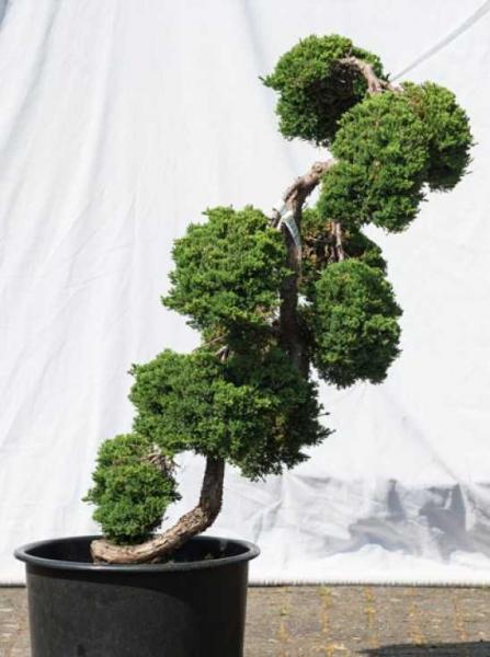 Juniperus procumbens 'Nana' H: 115 cm B: 70 cm / Garten-Bonsai (533)